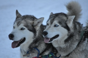 The two Malmute Siberian Mix Brothers ...