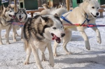 About to take off dogsledding