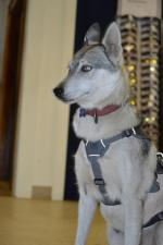 Tundra, Rescue Alaskan Husky in her Harness